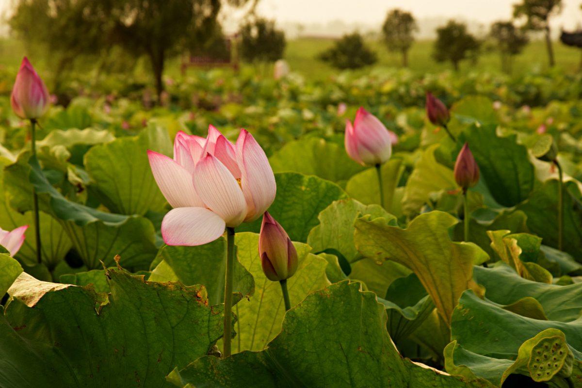 Lotus Flowers Nika Bric
